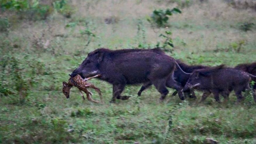 New Weapon Against Feral Pigs Sports Hannapub Com
