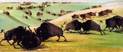 Buffalo fights