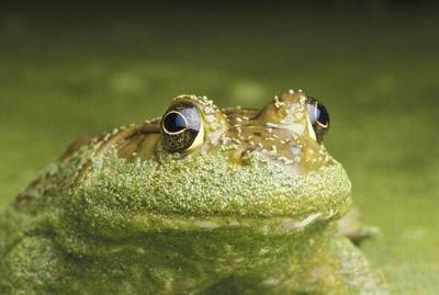 MDC invites Missourian to learn about frogs at virtual program