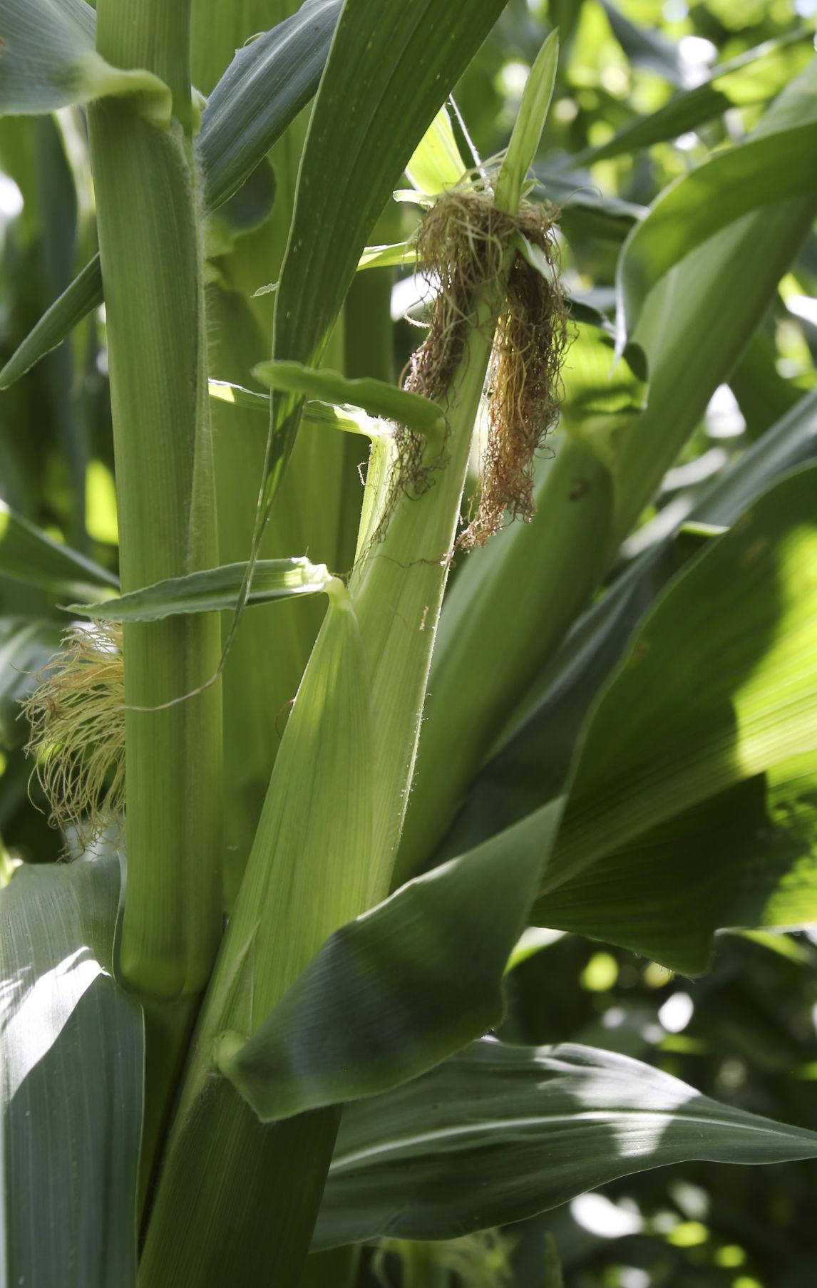 Pawnee Corn 5