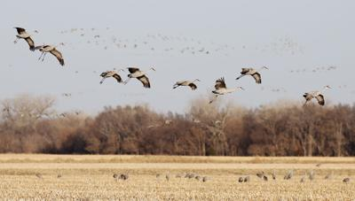 A Night With The Sandhill Cranes At The Crane Trust In >> Crane Season Nears End News Hastingstribune Com