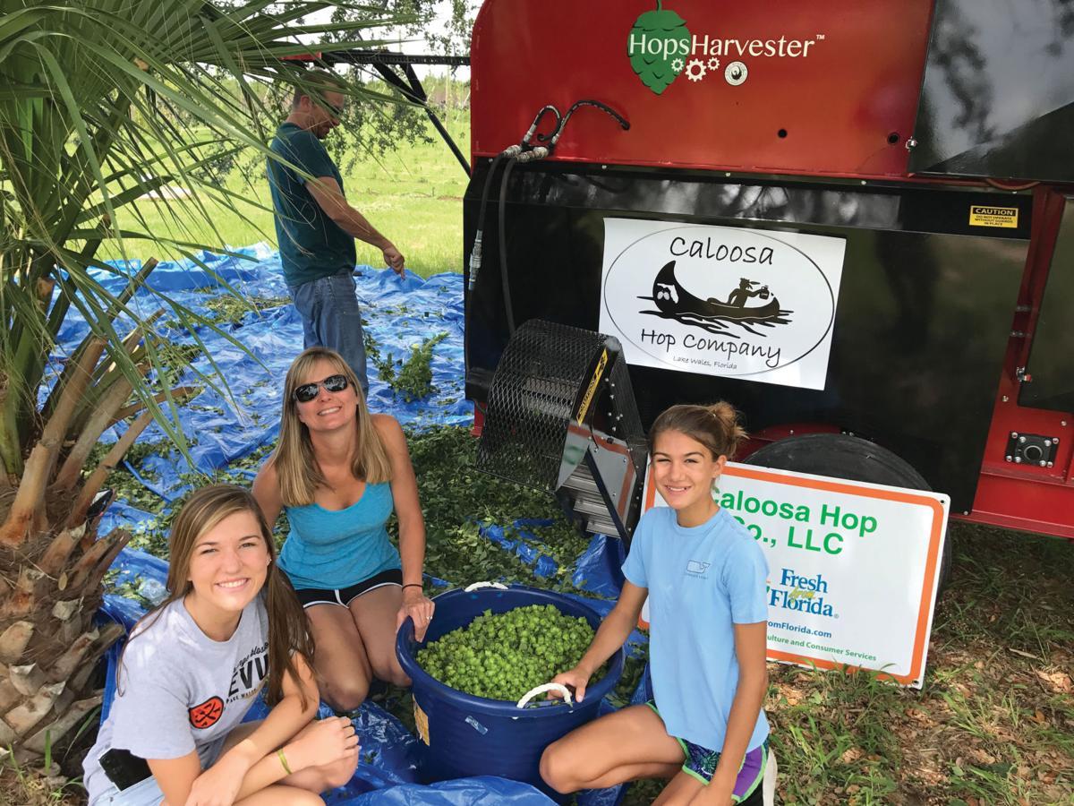 Caloosa Hops family