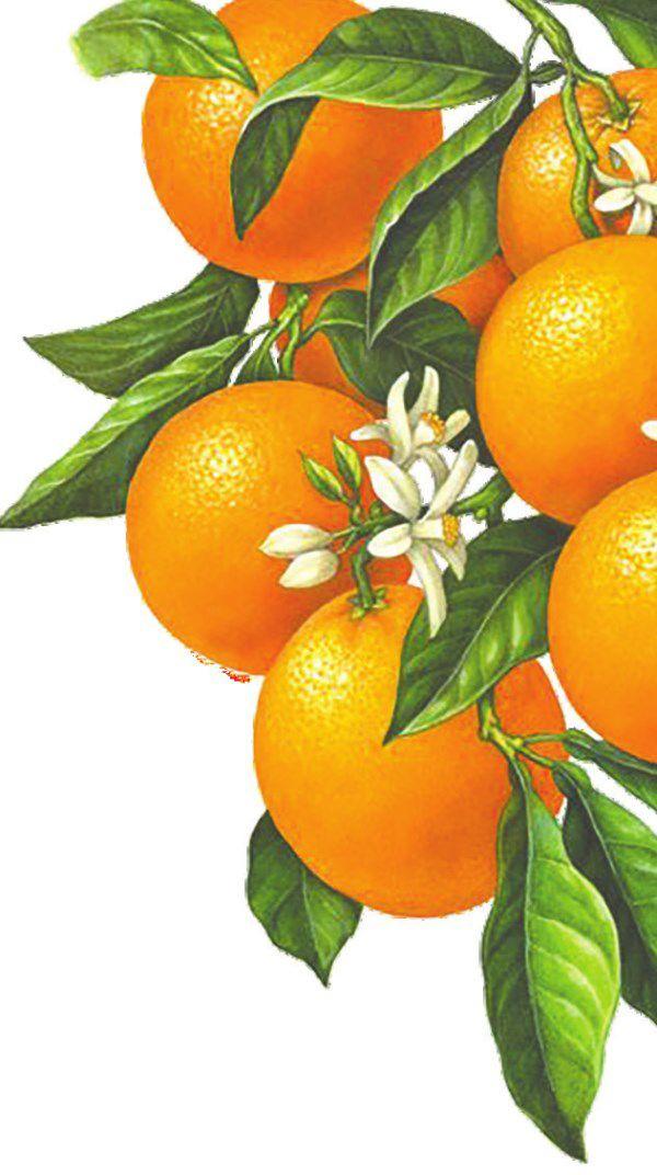 citrus illustration.jpg