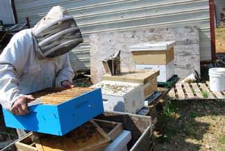 Bees in season for local beekeepers