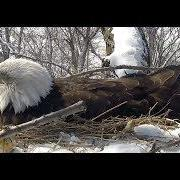 Newborn hatchlings in Fraser Point Bald Eagle Nest | The Dodo Tranquil Tuesdays LIVE