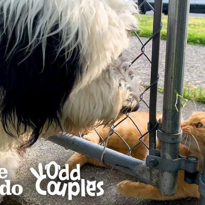 This Cat's Obsessed With The Dog Next Door | The Dodo Odd Couples