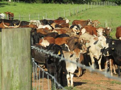 cattle farm.jpeg