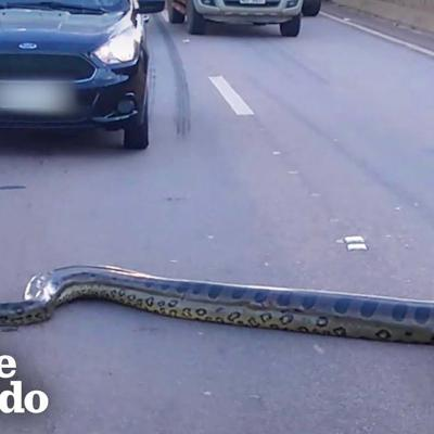 VIDEO: Giant anaconda stops traffic in busy intersection