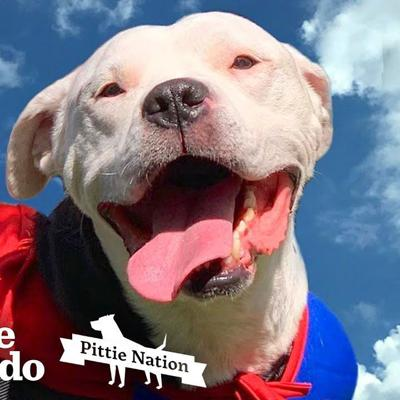 The Magic Moment This Paralyzed Pit Bull Got Up And Walked Again | The Dodo Pittie Nation