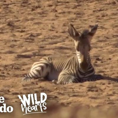 Herd Of Zebras Adopts Orphaned Baby | The Dodo Wild Hearts