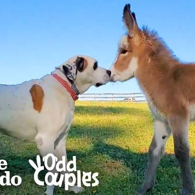 Dog Becomes Obsessed With A Newborn Donkey | The Dodo Odd Couples