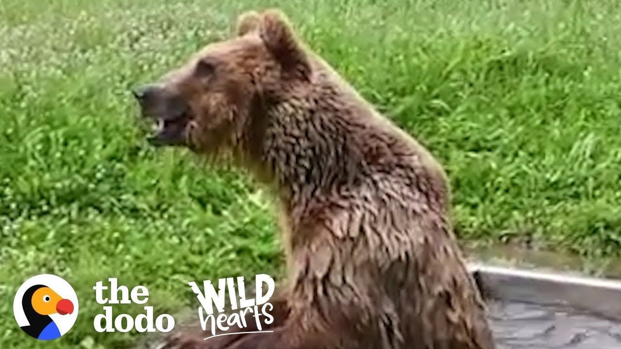 Bear Rescued from Tiny Cage has the Best Reaction to Freedom | The Dodo Wild Hearts