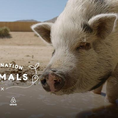 Hang Out With A Rescue Pig Who Eats Watermelon In Her Pool | The Dodo Airbnb Experiences
