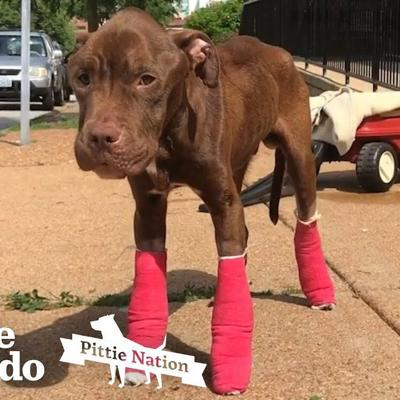 Watch This Pitbull Bounce Back From Overwhelming Odds | The Dodo Pittie Nation