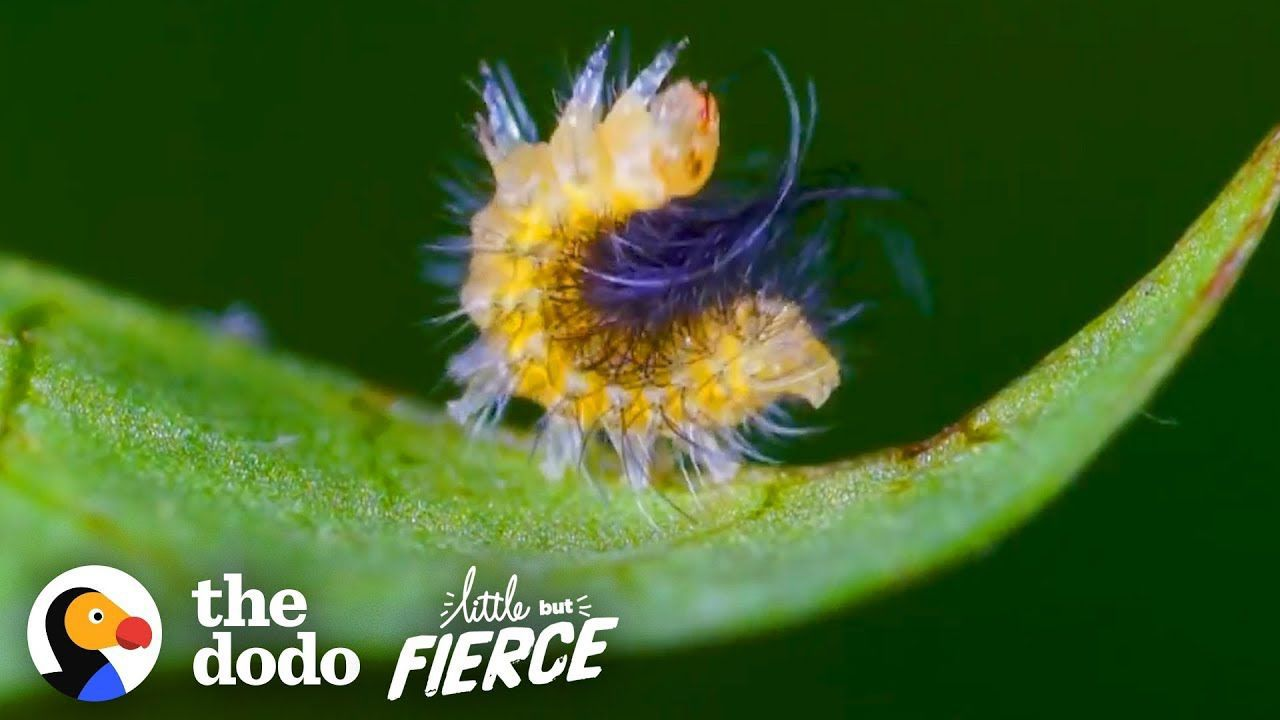 Tiny Caterpillar Makes Stunning Transformation into a Garden Tiger Moth | The Dodo Little But Fierce