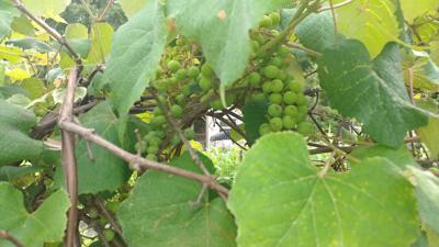 grapes on vine2.jpg