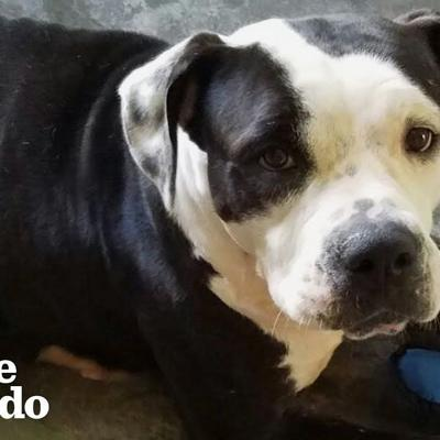 Paralyzed Pittie Turned Into A Ray Of Sunshine | The Dodo