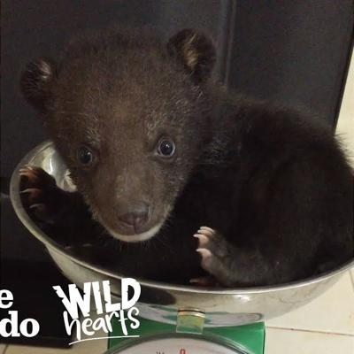 Tiny Bear Cub Siblings Learn How To Be Wild  | The Dodo Wild Hearts