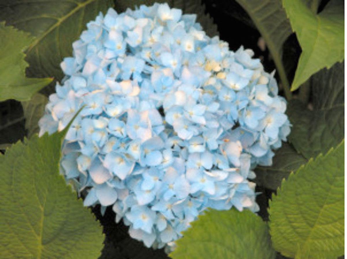 Hortensia_flower.jpg
