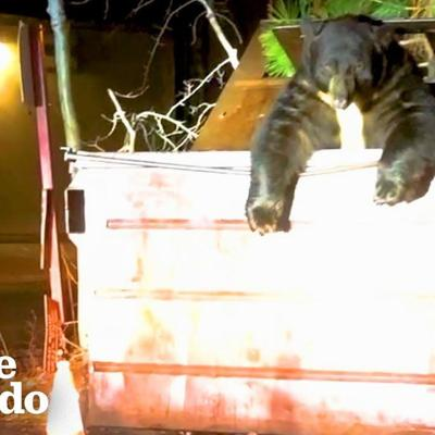 Huge Bear Trapped In Dumpster Helped By Cops | The Dodo