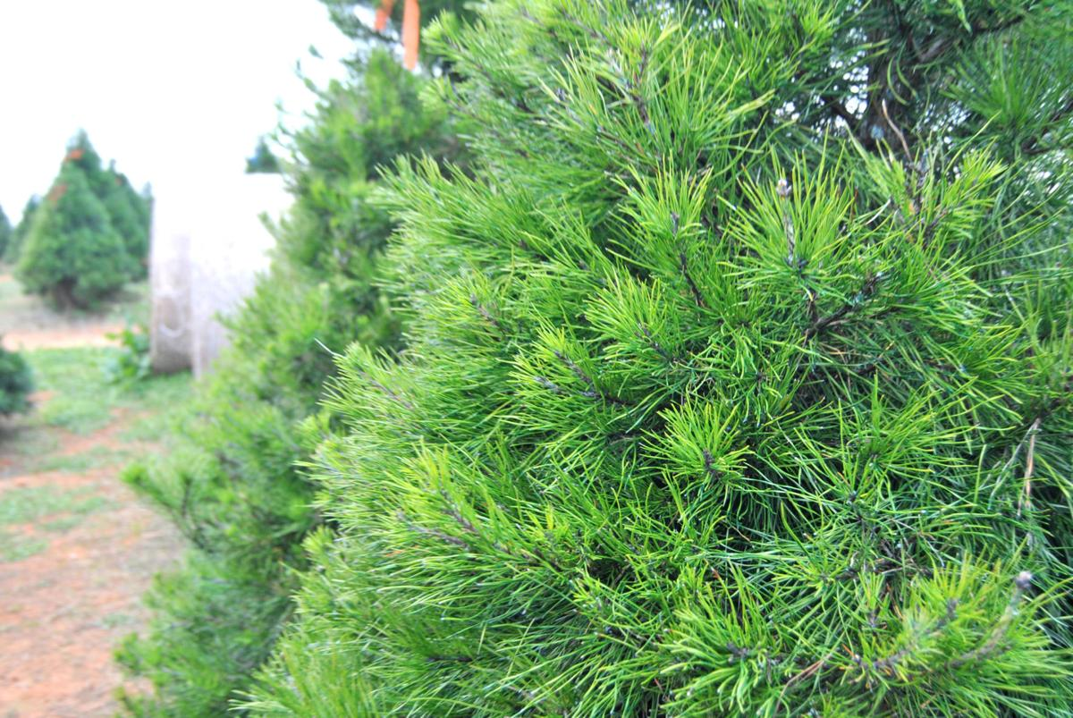 Keep Christmas tree healthy, safe through holiday season   Features ...