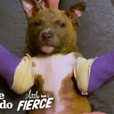 Tiny Pit Bull Puppy Gets Purple Casts To Help Him Run | The Dodo Little But Fierce