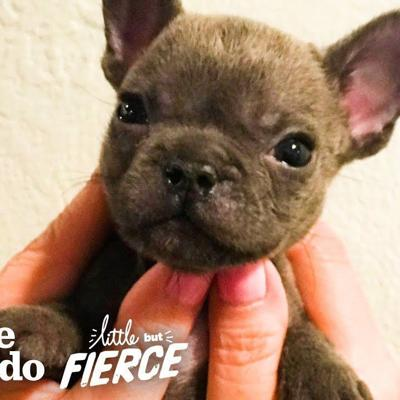 Watch This Sassy Cleft Palate Puppy Argue With His Mom | The Dodo Little But Fierce