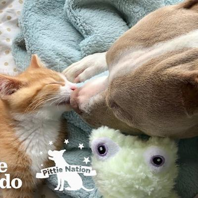 Tiny Kittens Help Heartbroken Pittie To Live Again | The Dodo Pittie Nation