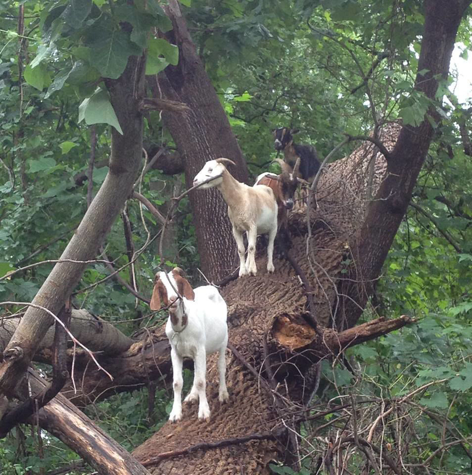 Park Service turns to goats to combat kudzu in Fayette town | News
