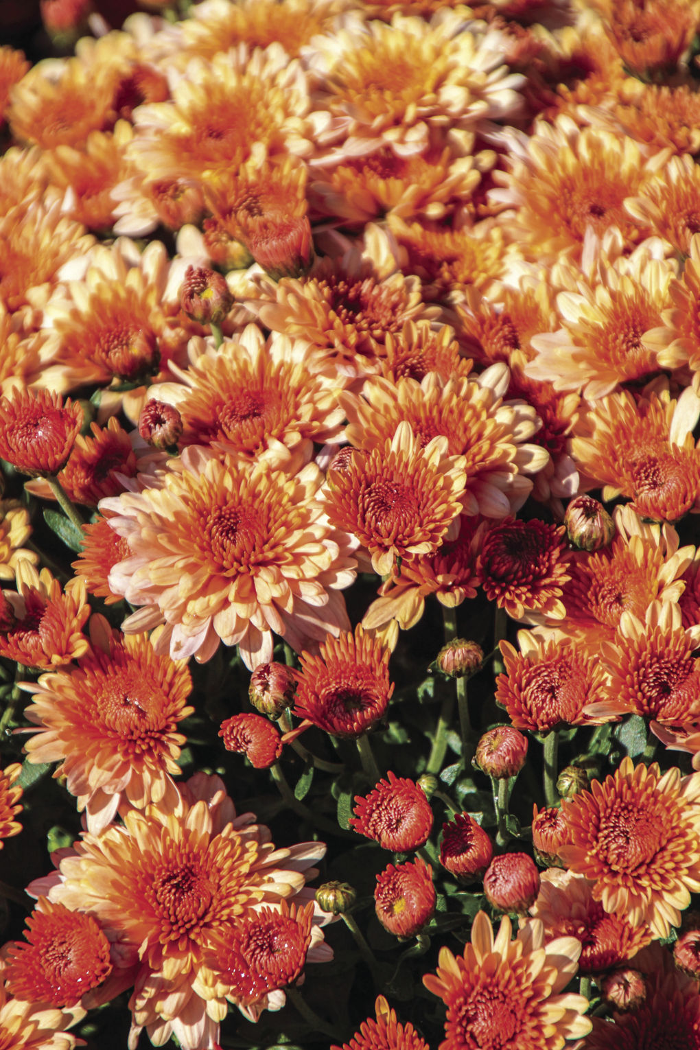 Chrysanthemums Can Become A Favorite Perennial Hdhomes Herald
