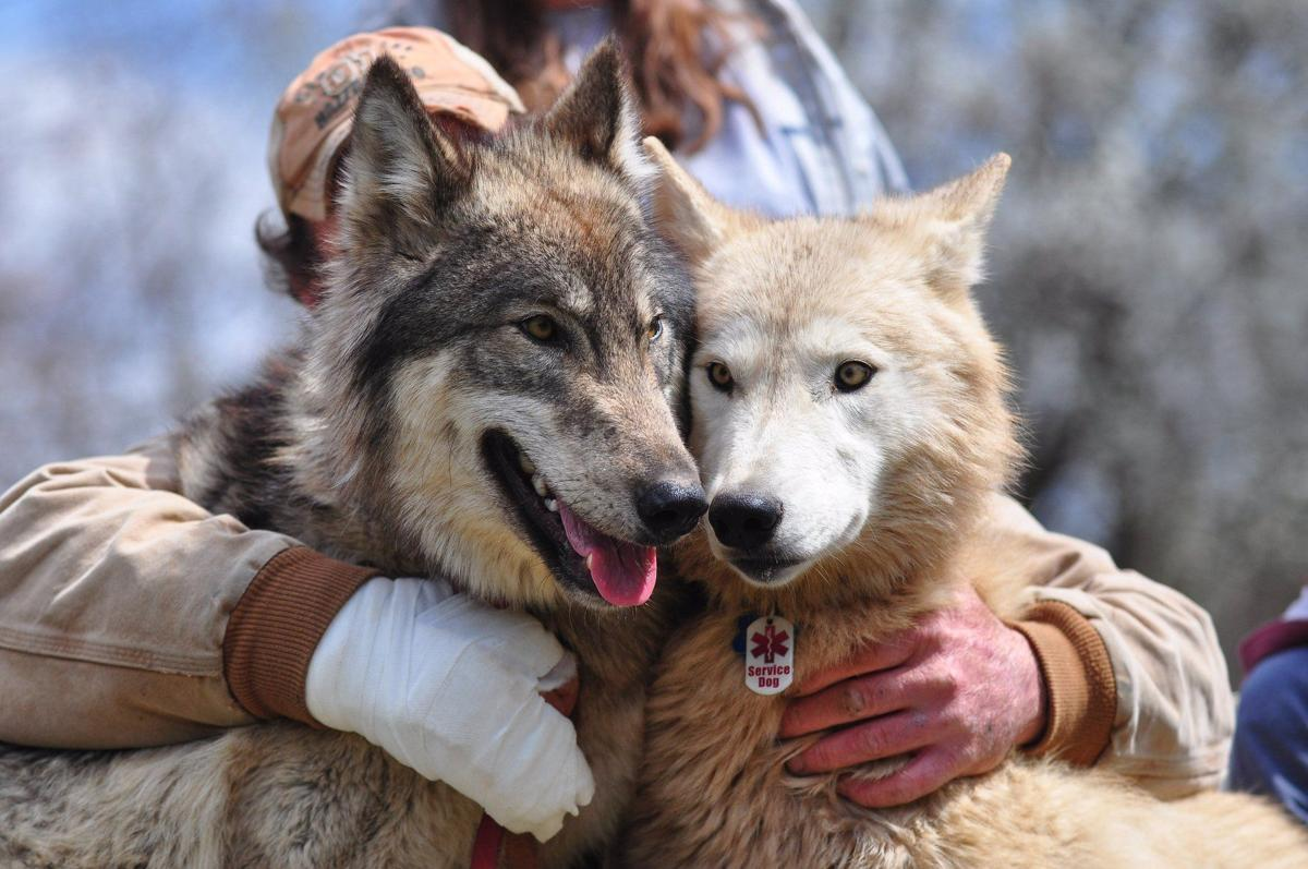 Wolf hybrid puppies for sale in ohio - Hybrid Wolves Gaining Popularity