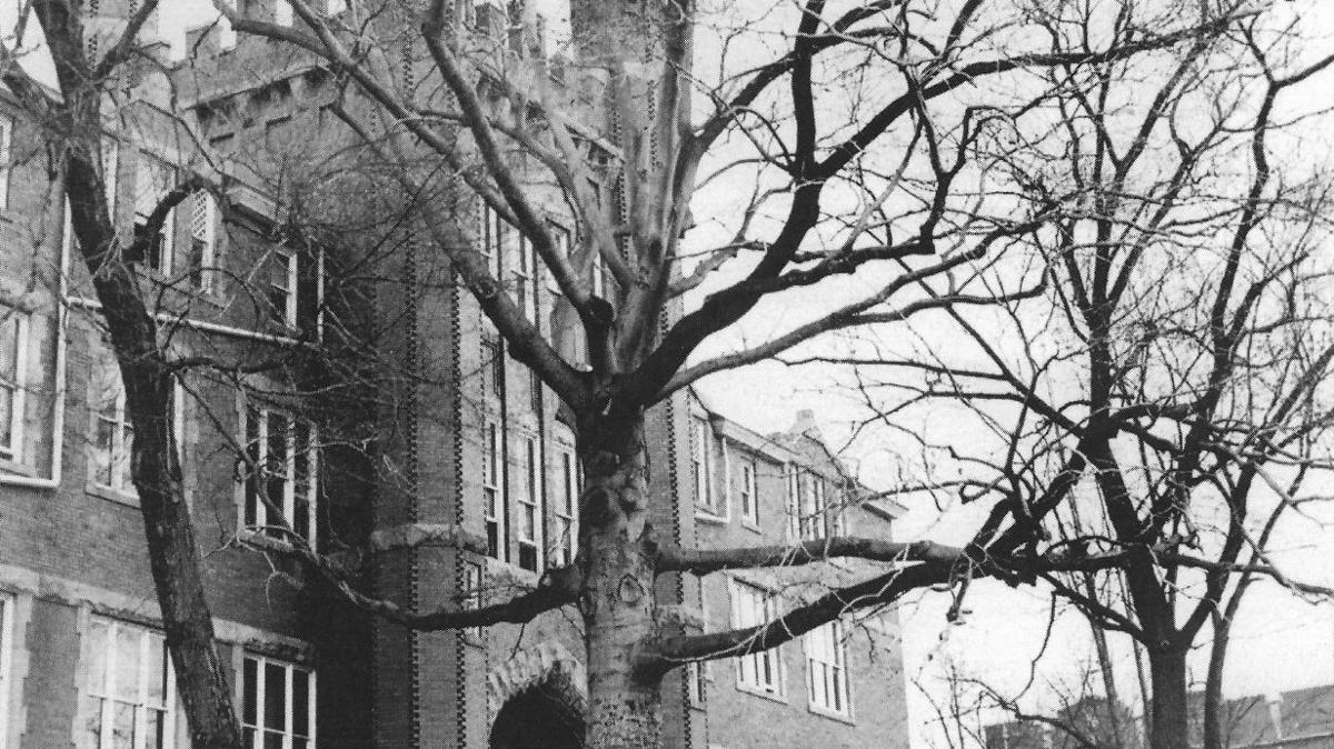 Lost Huntington: Marshall beech tree