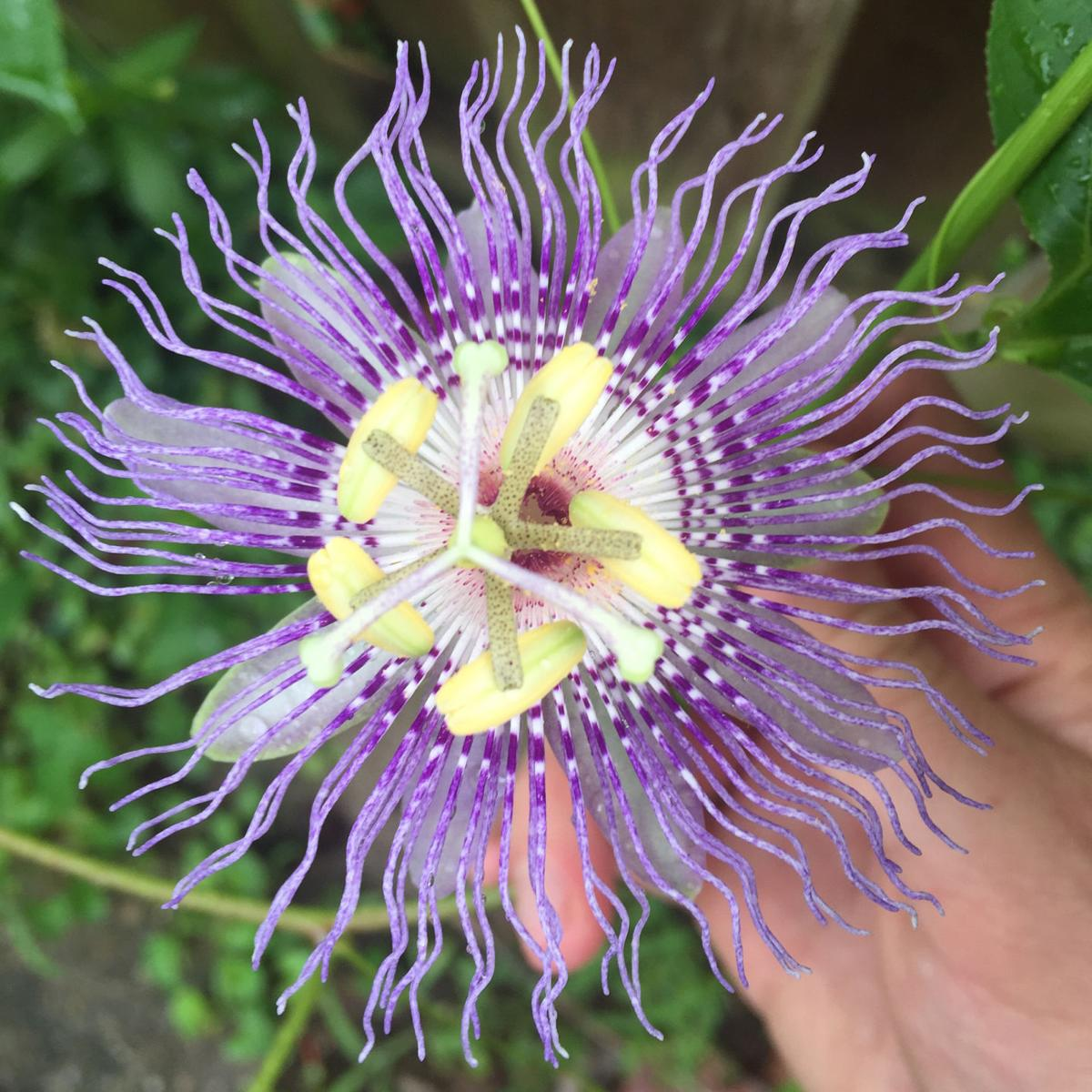 Travis Lemon Remedy Stress Anxiety Naturally With Passion Flower
