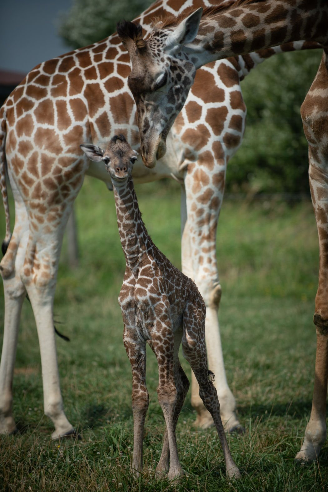 Baby Giraffe Born This Week At The Wilds Recent News Herald