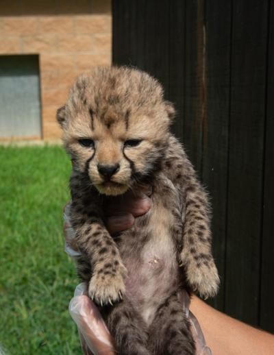 The Wilds Sees Birth Of Two New Cheetah Cubs Recent News Herald