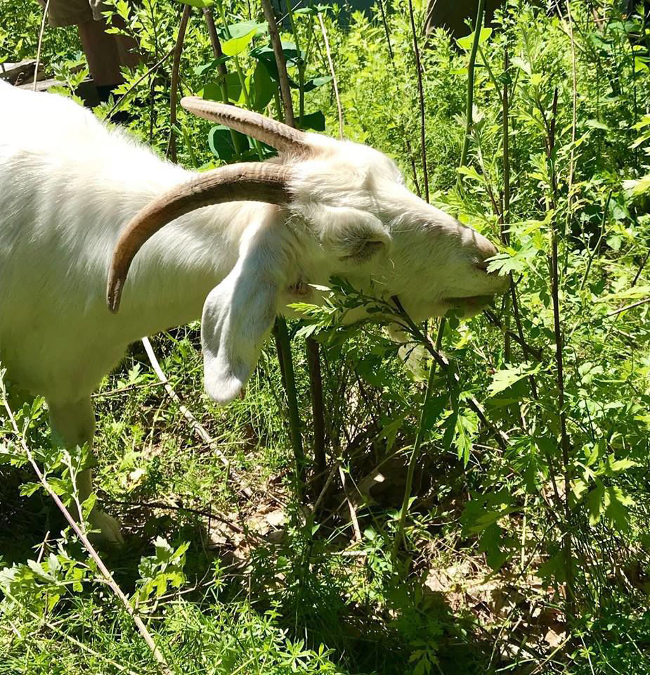 Park Service turns to goats to combat kudzu in Fayette town   News