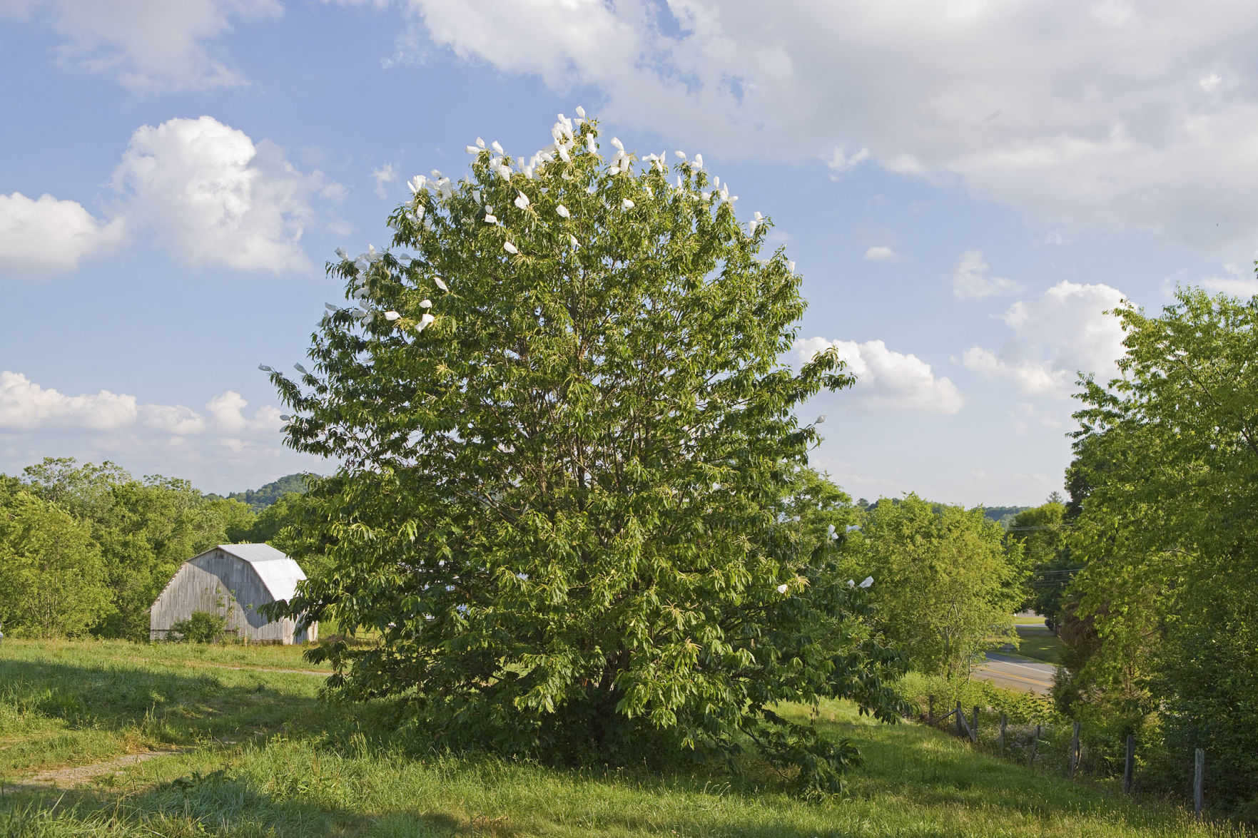 Work progresses on developing blightresistant American chestnut