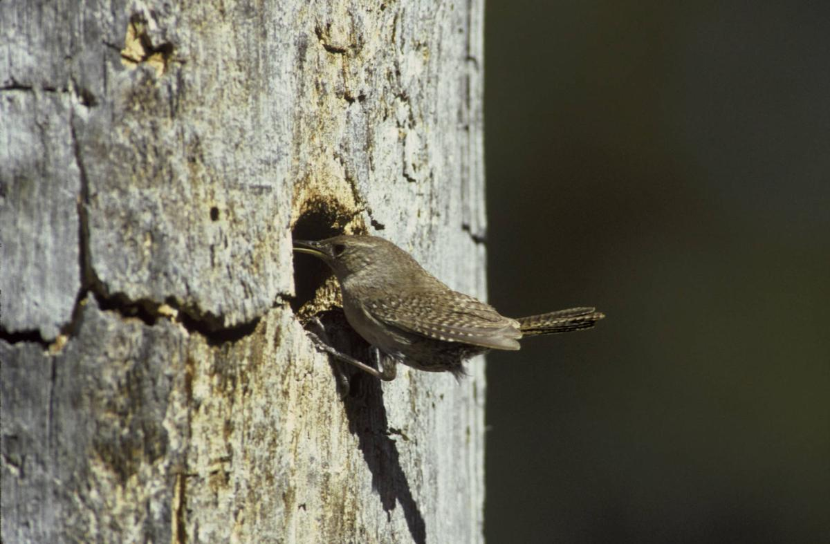 Territorial nature of house wrens brings conflict with their
