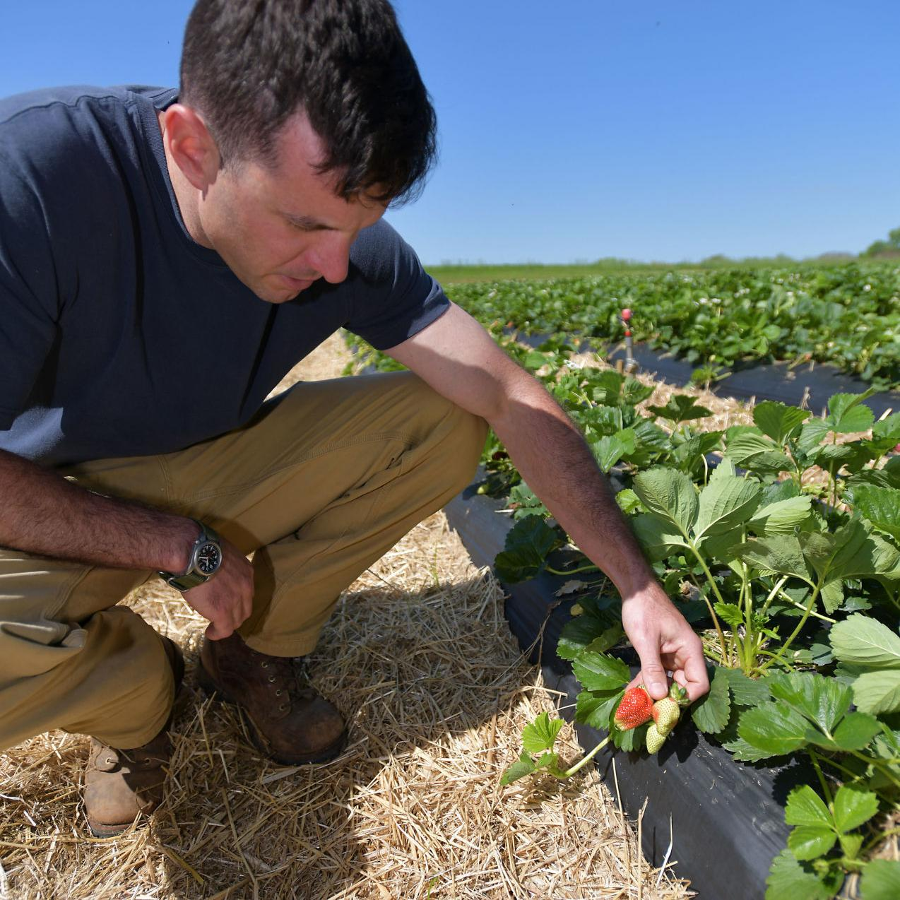 It S Strawberry Season Again At Scott S Farms In Unicoi Lifestyles Heraldcourier Com
