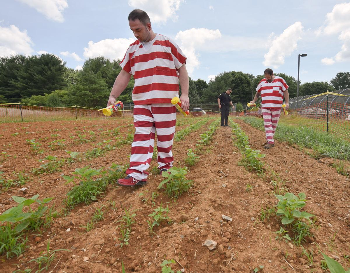 Jail garden allows nonviolent trusties to work outside growing ...