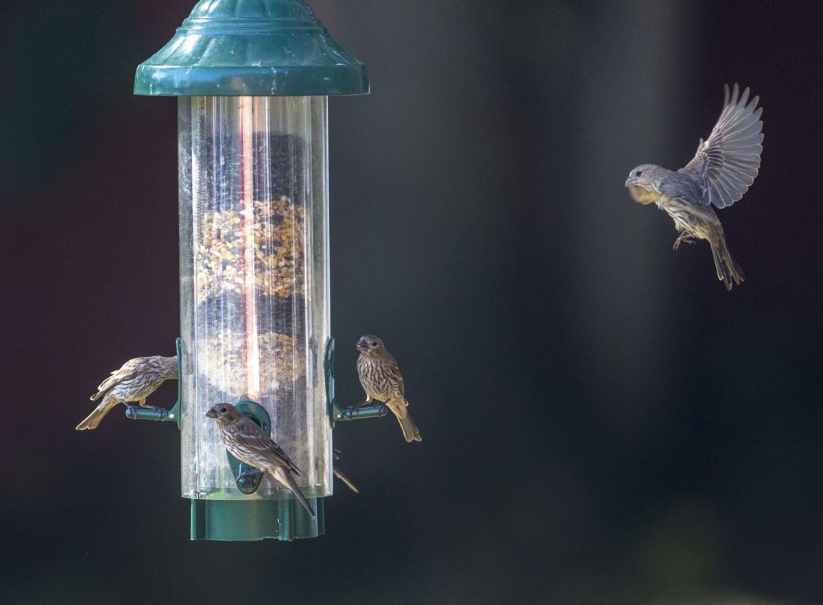 BHC 07032021 Bird Feeders at Risk