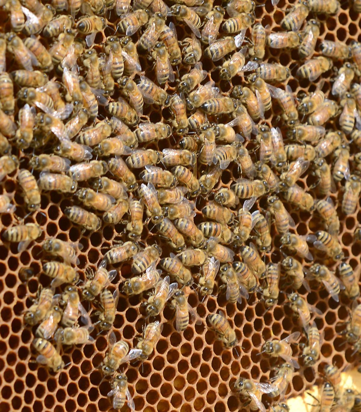 Honey Bees 06