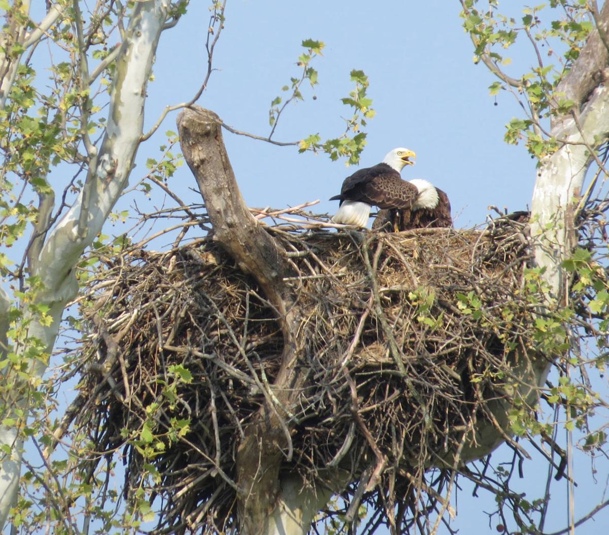 Book chronicles nesting season of celebrity eagles ...