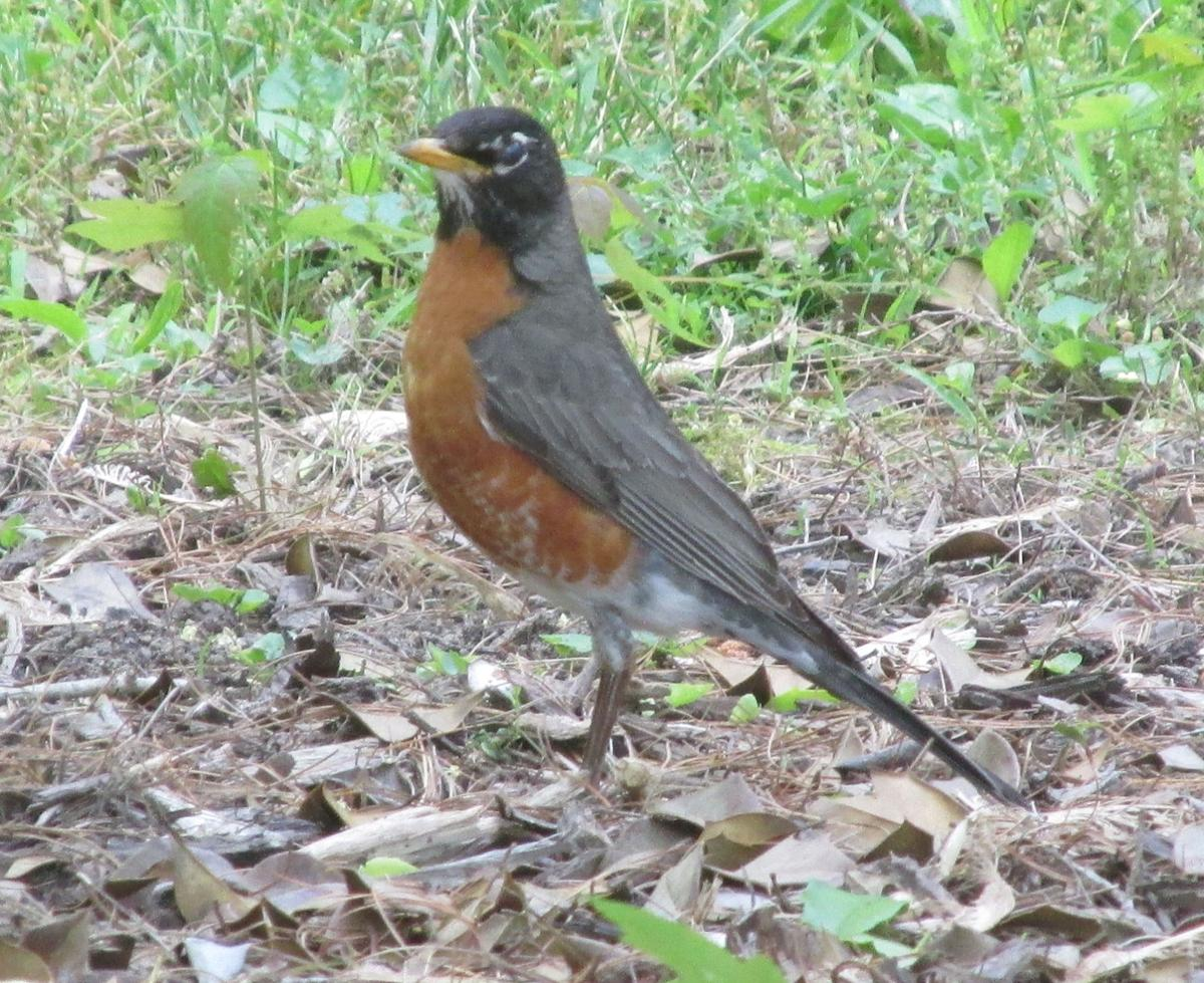 reflections trigger aggressive behavior in robins other birds