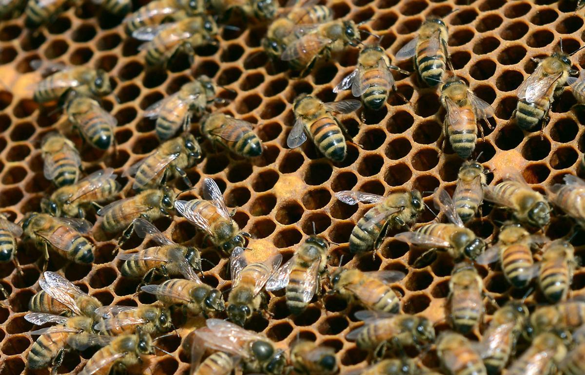 Honey Bees 01