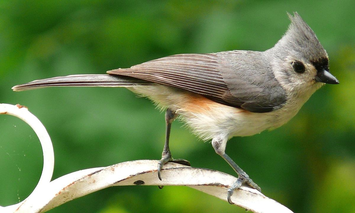 bird column tufted-titmouse-981639_1920