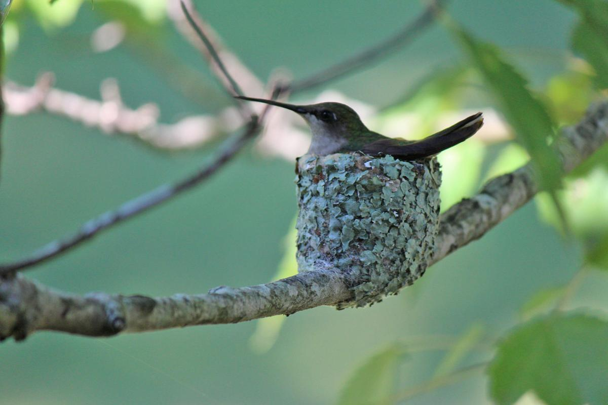 Bluff City Woman Enjoys Glimpse Into Hummingbird Nesting