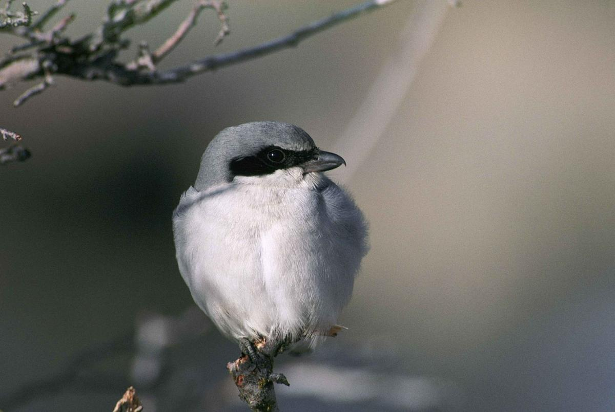 bird column ludovicianus-386899_1920