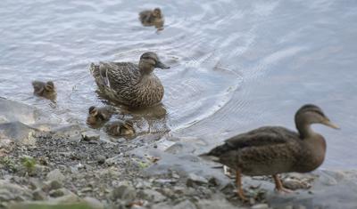 BVA Ducks 01