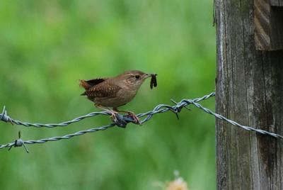 Native wrens offset lack of size with competitive spirit